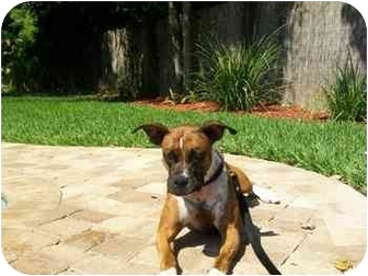 American Pit Bull Terrier/Boxer Mix Dog for adoption in Gainesville, Florida - Ellie May