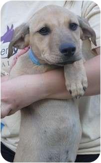 Labrador Retriever/Shepherd (Unknown Type) Mix Puppy for adoption in Medford, New Jersey - Willie