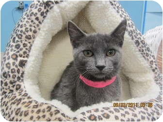Russian Blue Kitten for adoption in Sterling Hgts, Michigan - Mink