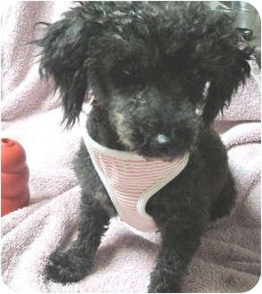 Miniature Poodle Dog for adoption in Smithfield, North Carolina - Kylee
