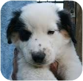 Border Collie Mix Puppy for adoption in Plainfield, Connecticut - Teaky