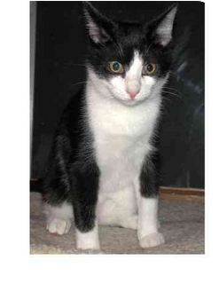 Domestic Shorthair Cat for adoption in Sheboygan, Wisconsin - Pepper