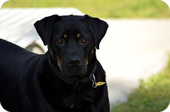 Rottweiler/Labrador Retriever Mix Dog for adoption in Fresno, California - Breakfast