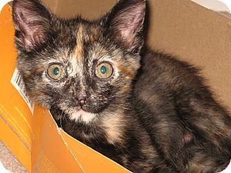 Domestic Shorthair Kitten for adoption in Hendersonville, Tennessee - Tipper