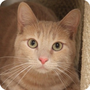 Domestic Shorthair Cat for adoption in Naperville, Illinois - Marmalade
