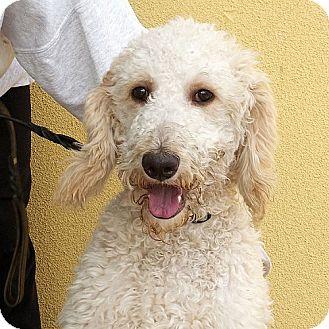 Standard Poodle Dog for adoption in Berkeley, California - Kiba