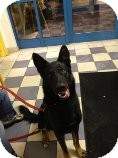 German Shepherd Dog Dog for adoption in Rochester/Buffalo, New York - Thor