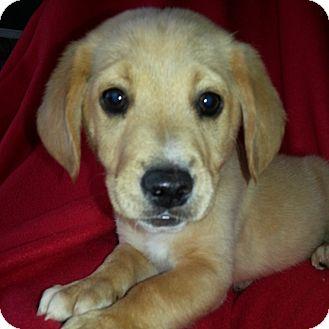 Golden Retriever/Labrador Retriever Mix Puppy for adoption in Columbia, Illinois - Cason