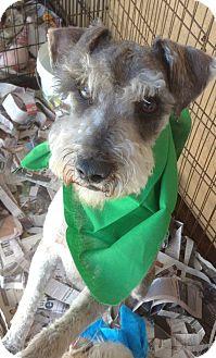 Schnauzer (Miniature) Dog for adoption in Santee, California - Scobie