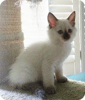 Himalayan Kitten for adoption in Irvine, California - SNOWHITE