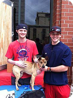Shiba Inu/Feist Mix Dog for adoption in MILWAUKEE, Wisconsin - SCRUGGS