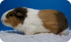 Guinea Pig for adoption in Aurora, Colorado - Natalie