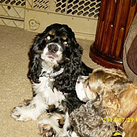 Cocker Spaniel Mix Dog for adoption in Mentor, Ohio - Franklin 5yr