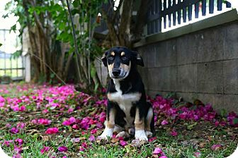 Beagle Mix Puppy for adoption in Freeport, Maine - Picasso