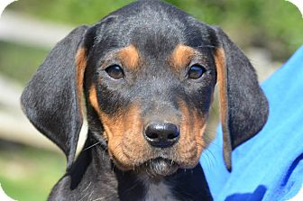 Hound (Unknown Type) Mix Puppy for adoption in Spring City, Pennsylvania - Daffie