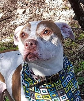 Pit Bull Terrier Mix Dog for adoption in Lago Vista, Texas - Teddy