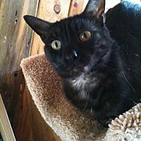 Domestic Shorthair Cat for adoption in Los Angeles, California - Smokey Moe