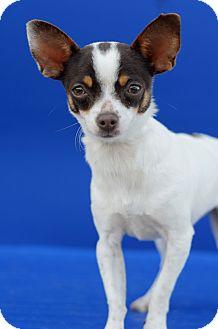 Chihuahua Mix Puppy for adoption in LAFAYETTE, Louisiana - BINX