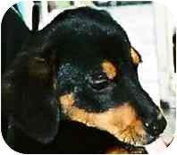 Dachshund Mix Puppy for adoption in Lexington, Missouri - Patsy