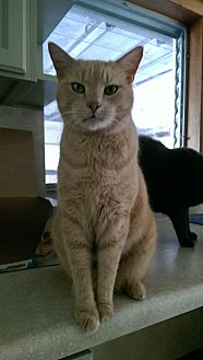 Domestic Shorthair Cat for adoption in Naples, Florida - Leo