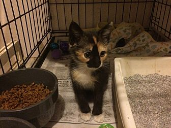 Calico Kitten for adoption in Sunny Isles Beach, Florida - Jolie aka Jo Jo