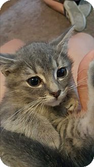 Domestic Shorthair Kitten for adoption in Clarkston, Michigan - Chatty
