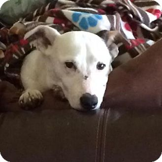 Jack Russell Terrier Dog for adoption in Columbia, Tennessee - Willow