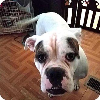 American Bulldog Mix Dog for adoption in Savannah, Georgia - Boomer