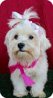 Maltese Mix Dog for adoption in Irvine, California - MONA