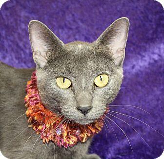 Russian Blue Cat for adoption in Jackson, Michigan - El