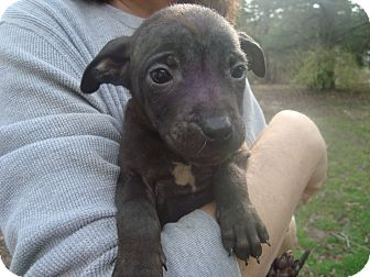 Chihuahua/American Staffordshire Terrier Mix Puppy for adoption in Old Bridge, New Jersey - Gayla