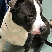 Adopt A Pet :: Tank - Centerburg, OH