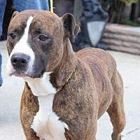 Pit Bull Terrier Mix Dog for adoption in Greensboro, North Carolina - Dale