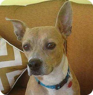 Labrador Retriever/Beagle Mix Dog for adoption in Miami, Florida - Zultan