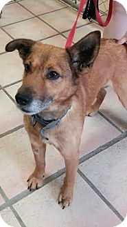 Shepherd (Unknown Type) Mix Dog for adoption in Newburgh, Indiana - Brownie