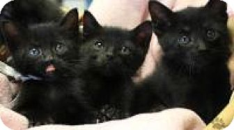 Domestic Shorthair Kitten for adoption in Yukon, Oklahoma - Jane and Suki
