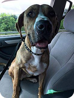Boxer/Labrador Retriever Mix Dog for adoption in Fairfax, Virginia - Flint
