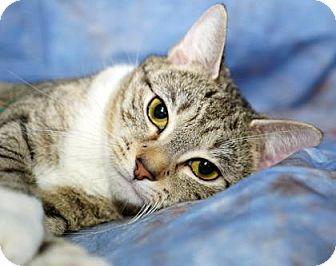 Domestic Shorthair Cat for adoption in North Myrtle Beach, South Carolina - Precious Momma