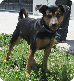 Terrier (Unknown Type, Medium) Mix Dog for adoption in Creston, Iowa - Farrin