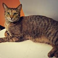Domestic Shorthair/Domestic Shorthair Mix Cat for adoption in West Des Moines, Iowa - Anneliese