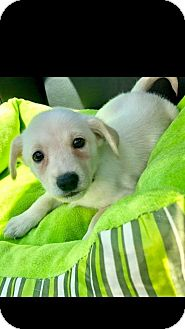 Terrier (Unknown Type, Small) Mix Puppy for adoption in Las Vegas, Nevada - Libra