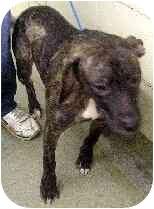 Labrador Retriever/Boxer Mix Dog for adoption in Elwood, Illinois - Melonie PLEASE HELP