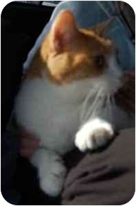 Domestic Shorthair Cat for adoption in Wayzata, Minnesota - Rory