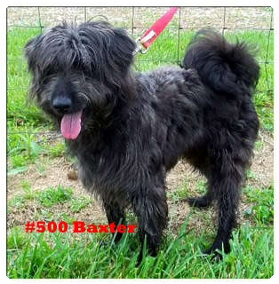 Terrier (Unknown Type, Small)/Poodle (Miniature) Mix Dog for adoption in Cincinnati, Ohio - Baxter