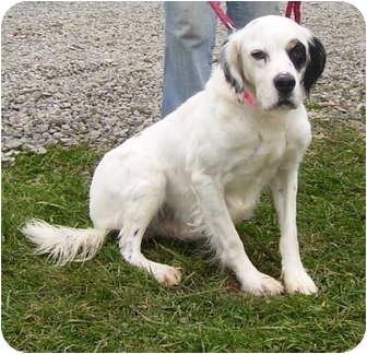 English Setter Mix Dog for adoption in Somerset, Pennsylvania - Jordan