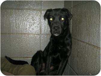 Labrador Retriever Mix Dog for adoption in Henderson, North Carolina - Tina