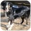 Photo 3 - Border Collie Dog for adoption in Bellevue, Nebraska - Pilib