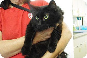 Domestic Mediumhair Cat for adoption in Elyria, Ohio - Austin