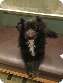 Cairn Terrier/Tibetan Terrier Mix Dog for adoption in Corona, California - TOTO, rescued off the 91 Frwy.