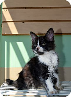 Domestic Mediumhair Kitten for adoption in El Cajon, California - TUX